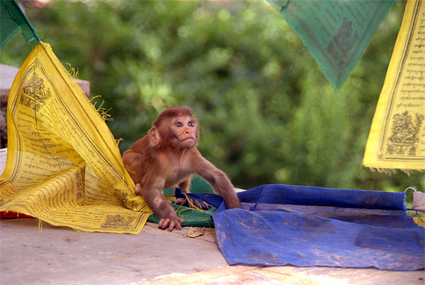 Baby Monkey Playing on Prayer Flags Swayambhu Step Framed Print by Serena Bowles
