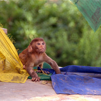 Buy canvas prints of Baby Monkey Playing on Prayer Flags Swayambhu Step by Serena Bowles