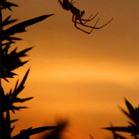 Buy canvas prints of Sunset Spider by Serena Bowles