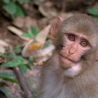 Buy canvas prints of Young Rhesus Macaque Monkey with Food in Cheeks by Serena Bowles