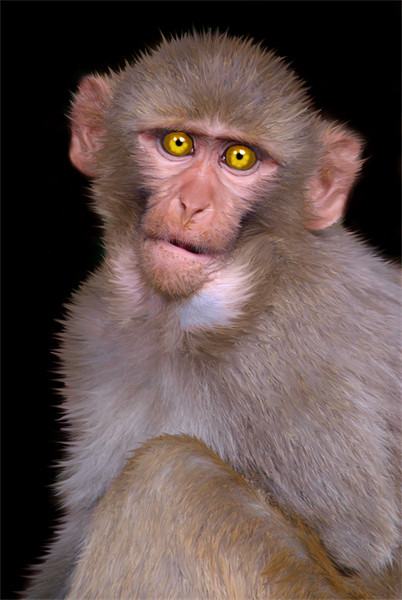 Young Rhesus Macaque Paintover Effect Framed Print by Serena Bowles