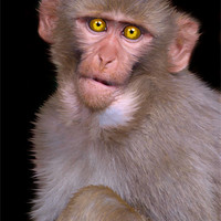 Buy canvas prints of Young Rhesus Macaque Paintover Effect by Serena Bowles