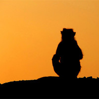 Buy canvas prints of Sunset Silhouette of Macaque Monkey, Badami, Karna by Serena Bowles