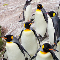 Buy canvas prints of March of the Penguins by Zoe Anderson