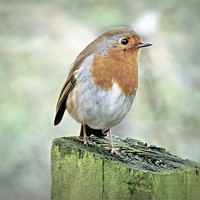 Buy canvas prints of Robin by Louise Godwin