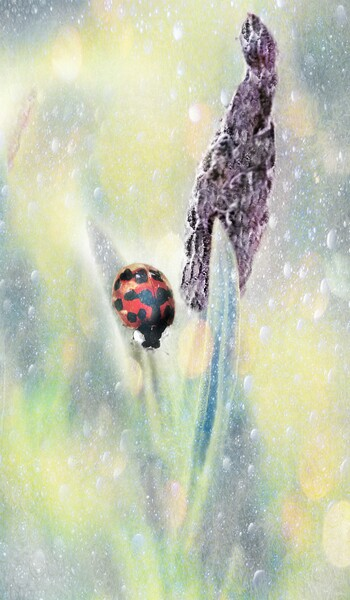 Lady Bird Bug  Framed Mounted Print by Louise Godwin