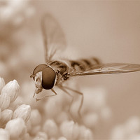 Buy canvas prints of Hoverfly In Sepia by Louise Godwin