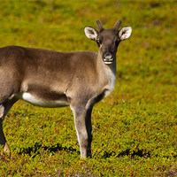 Buy canvas prints of Reindeer by Thomas Schaeffer