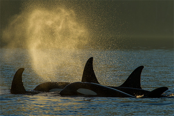 Orcas in Johnstone Strait Canvas Print by Thomas Schaeffer