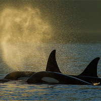 Buy canvas prints of Orcas in Johnstone Strait by Thomas Schaeffer