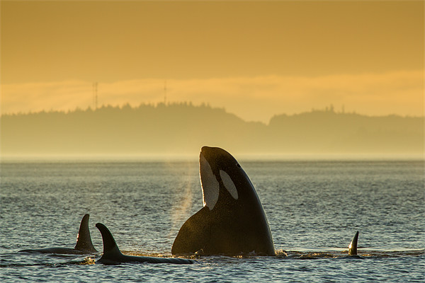 Orcas in Johnstone Strait at sunset Framed Mounted Print by Thomas Schaeffer