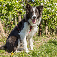 Buy canvas prints of Border Collie in the spring by Thomas Schaeffer