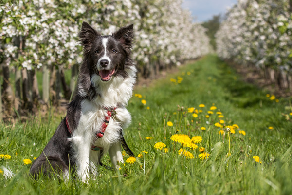 Border Collie in the spring Framed Print by Thomas Schaeffer