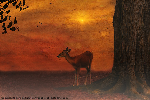 A YOUNG DEER Canvas print by Tom York
