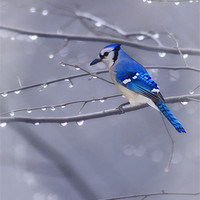 Buy canvas prints of BLUE JAY IN THE RAIN by Tom York