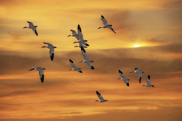 SNOW GEESE OF AUTUMN Canvas print by Tom York