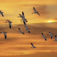 Buy canvas prints of SNOW GEESE OF AUTUMN by Tom York