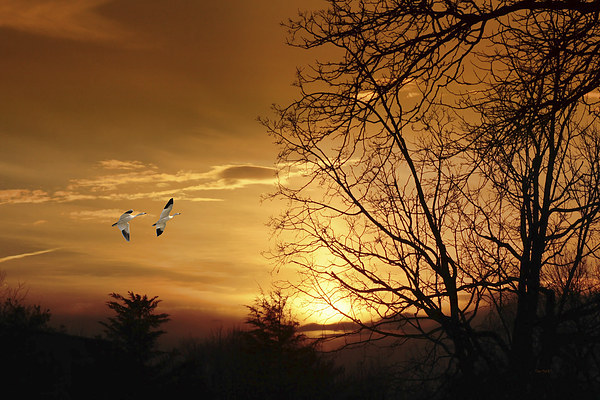 SNOW GEESE AT SUNSET Framed Mounted Print by Tom York