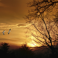 Buy canvas prints of SNOW GEESE AT SUNSET by Tom York