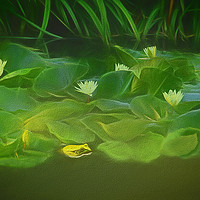 Buy canvas prints of Among The Water Lilies by Tom York
