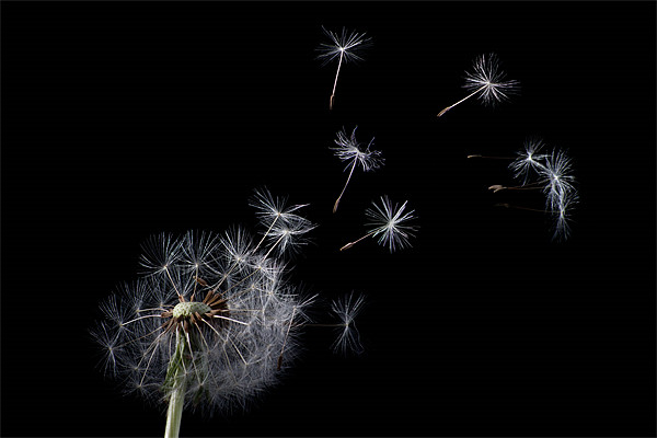 Dandelion Canvas print by Pam Martin