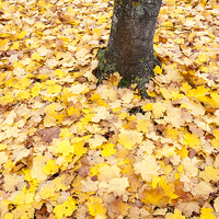 Buy canvas prints of Autumn Leaves by Danny Callcut