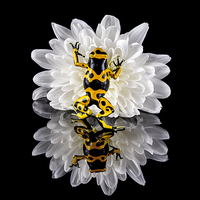 Buy canvas prints of Yellow-banded Poison Dart Frog by Danny Callcut