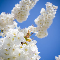 Buy canvas prints of Cherry Blossom III by Danny Callcut