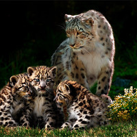 Buy canvas prints of Snow Leopard with cubs by Julie Hoddinott