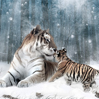 Buy canvas prints of Kaiser Katrina and the Kiss Tiger Canvas Print by Julie Hoddinott