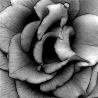 Buy canvas prints of Rose in Black and White by Kathleen Stephens