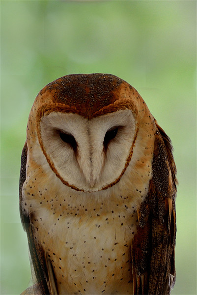 Portrait of a Barn Owl Canvas print by Kathleen Stephens