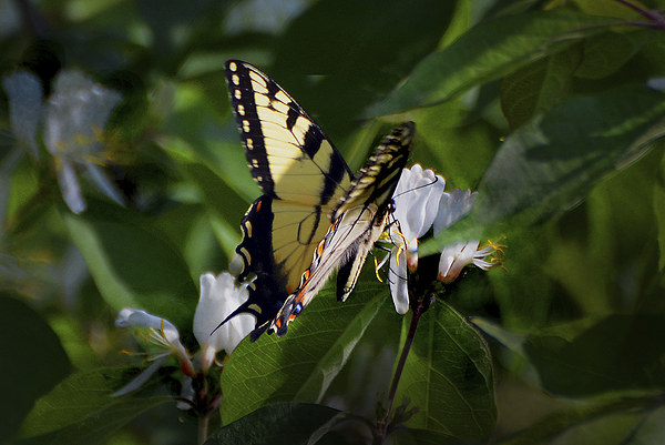 Western Tiger Swallowtail Canvas print by Kathleen Stephens