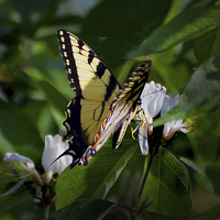 Buy canvas prints of  Western Tiger Swallowtail by Kathleen Stephens