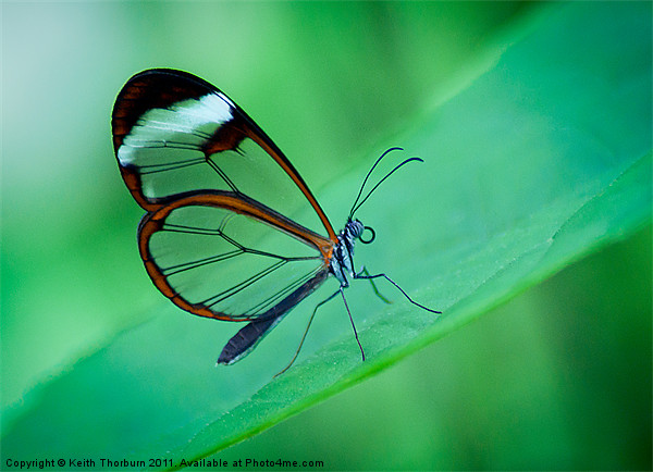 Glasswing Butterfly Canvas print by Keith Thorburn