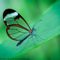 Buy canvas prints of Glasswing Butterfly by Keith Thorburn