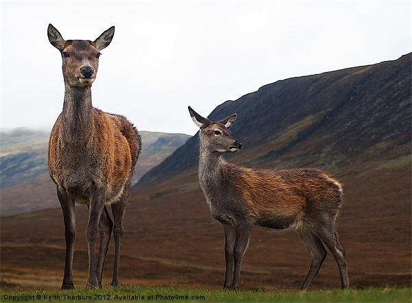 Deer in the Highlands Canvas print by Keith Thorburn