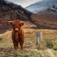 Buy canvas prints of Baby Highland Cow by Keith Thorburn