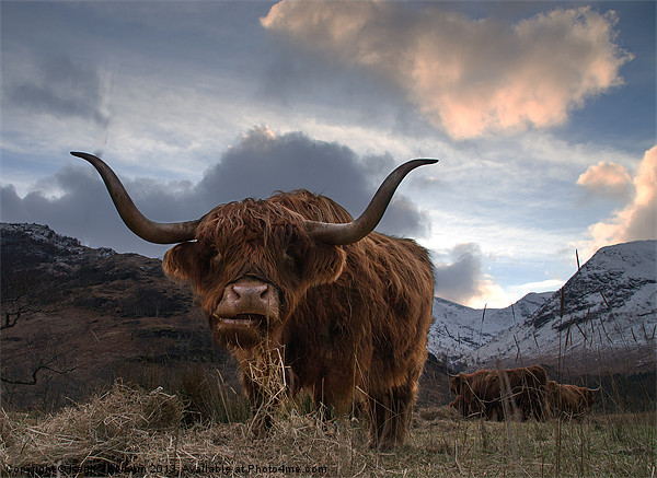 Highland Cow Acrylic by Keith Thorburn