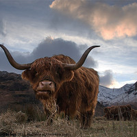 Buy canvas prints of Highland Cow by Keith Thorburn