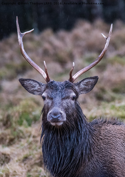 Highland Stag Canvas print by Keith Thorburn LRPS