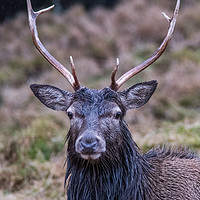 Buy canvas prints of Highland Stag by Keith Thorburn LRPS