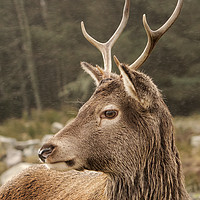 Buy canvas prints of Young Buck by Keith Thorburn EFIAP