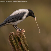 Buy canvas prints of Hooded Crow by Keith Thorburn EFIAP