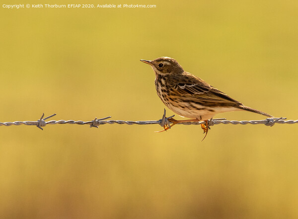 Meadow Pipit Acrylic by Keith Thorburn EFIAP