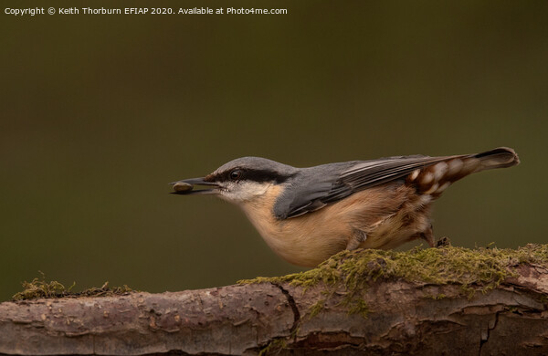 Nuthatch Framed Mounted Print by Keith Thorburn EFIAP