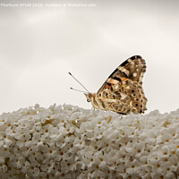Buy canvas prints of Painted Lady by Keith Thorburn EFIAP