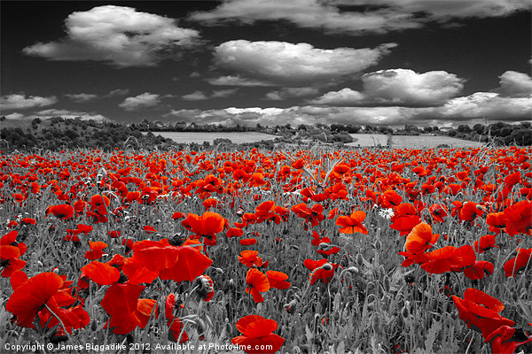 Crimson Poppies Canvas print by J Biggadike