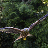 Buy canvas prints of Red Kite by Matthew Bates