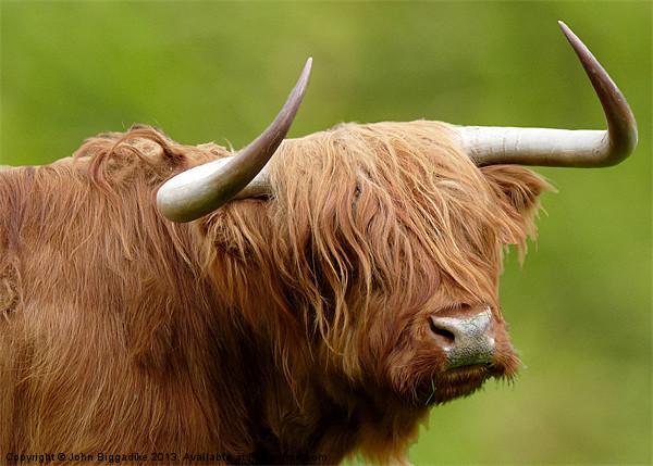 West Highland Cow Canvas print by John Biggadike